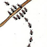 Szenen aus dem Leben der Ameisen - Inchie
